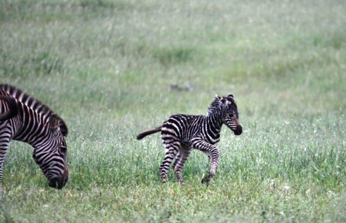 zebra foal, zebra, monarto safari park
