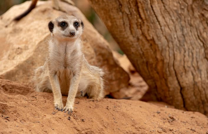 Monarto Safari Park covid closure meerkat