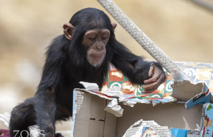 Chimpmas, chimps at Monarto Safari Park image: Adrian Mann