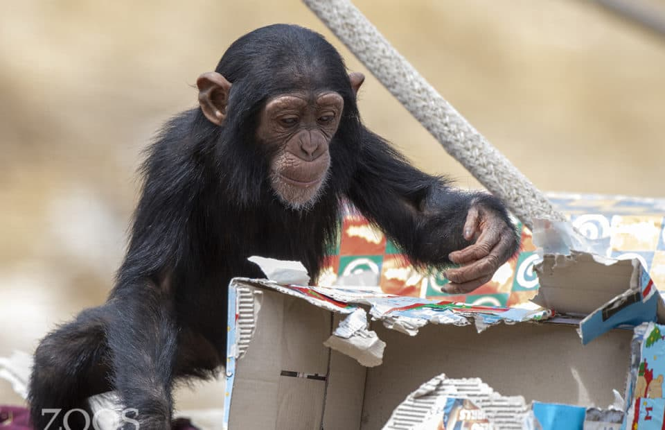 Chimpmas, chimps at Monarto Safari Park image: Adrian Mann