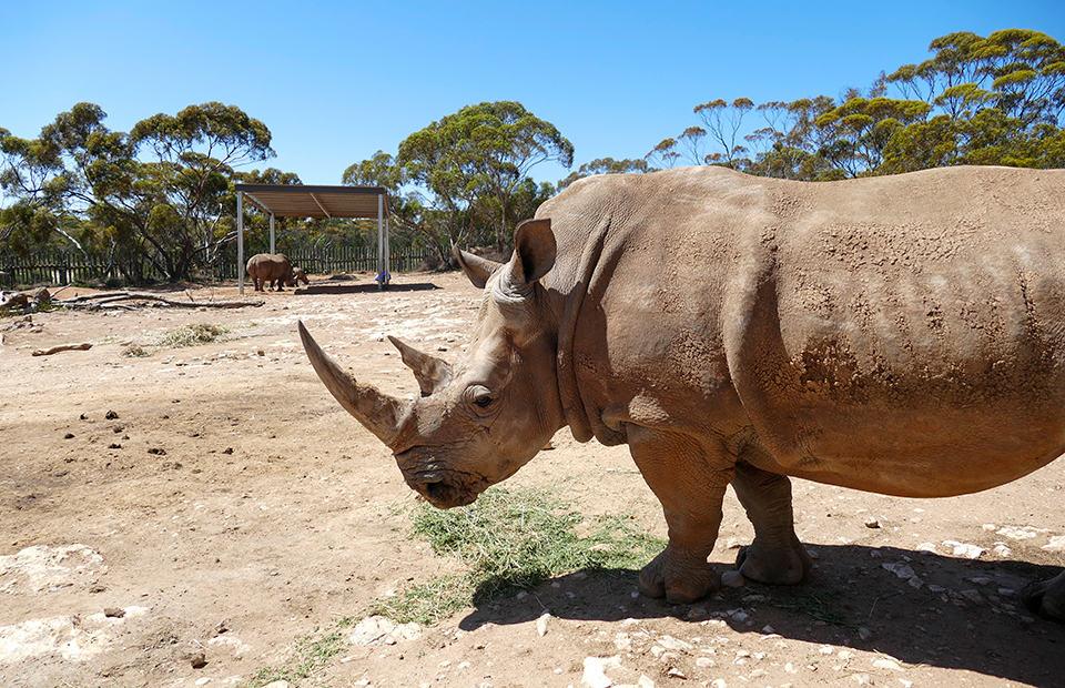 Monarto Safari Park Southern White Rhino Uhura conservation