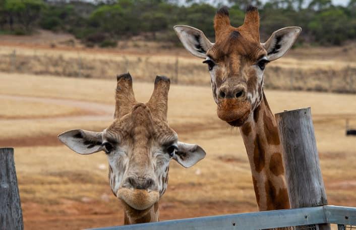 Monarto Safari Park New Year 2020
