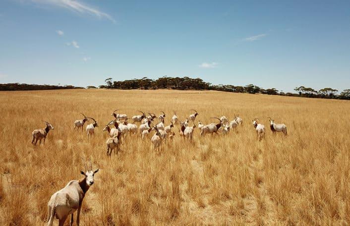 Monarto Safari Park Oryx
