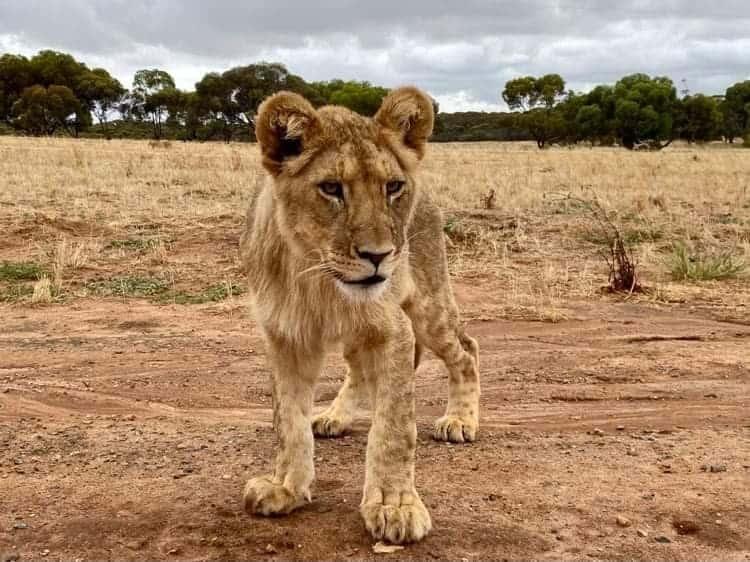 Khari Monarto Safari Park Lion