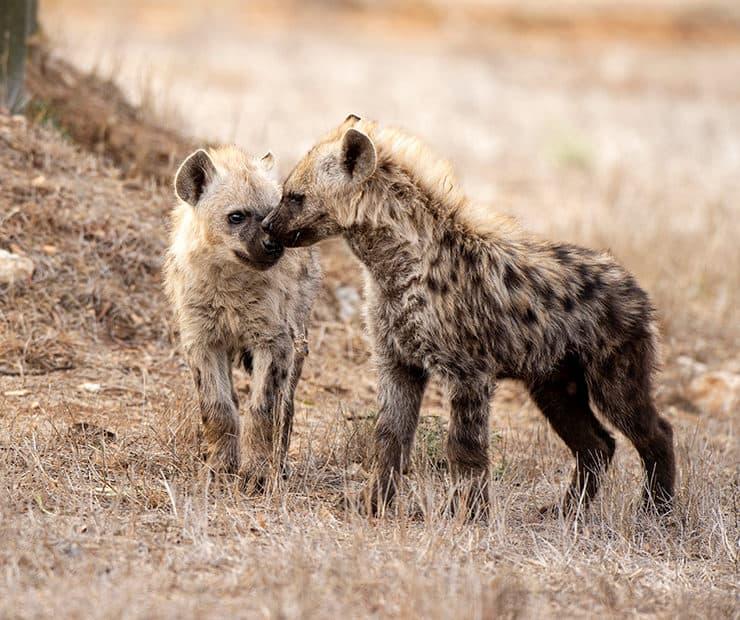 Spotted Hyena Monarto Safari Park