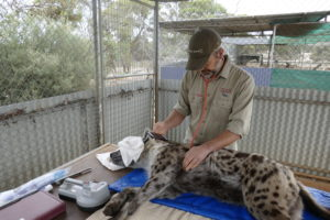 Monarto Safari Park hyena health check