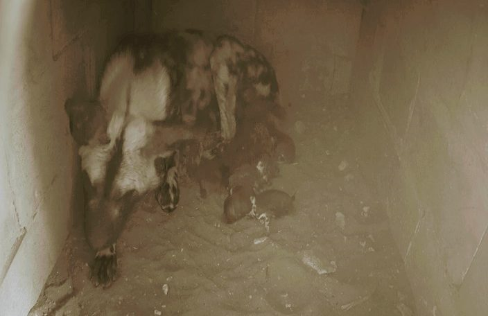 African Painted Dog mum in her den with newborn pups around her, Monarto Safari Park