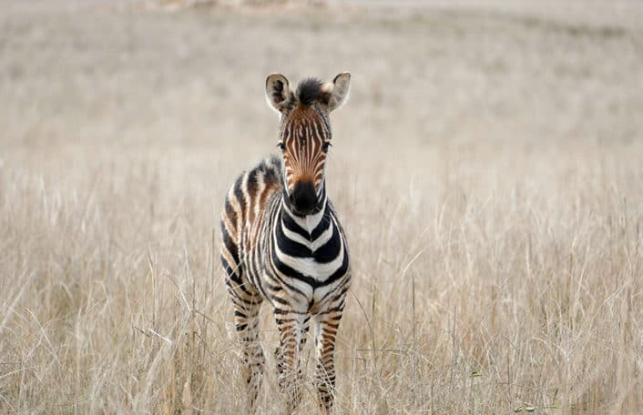 Two-week old stripy zebra foal stares at the camera surrounded by grassland at Monarto Safari Park