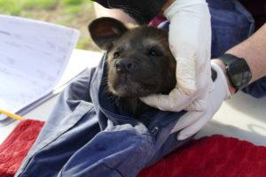 Monarto Safari Park African Painted Dog puppy health check