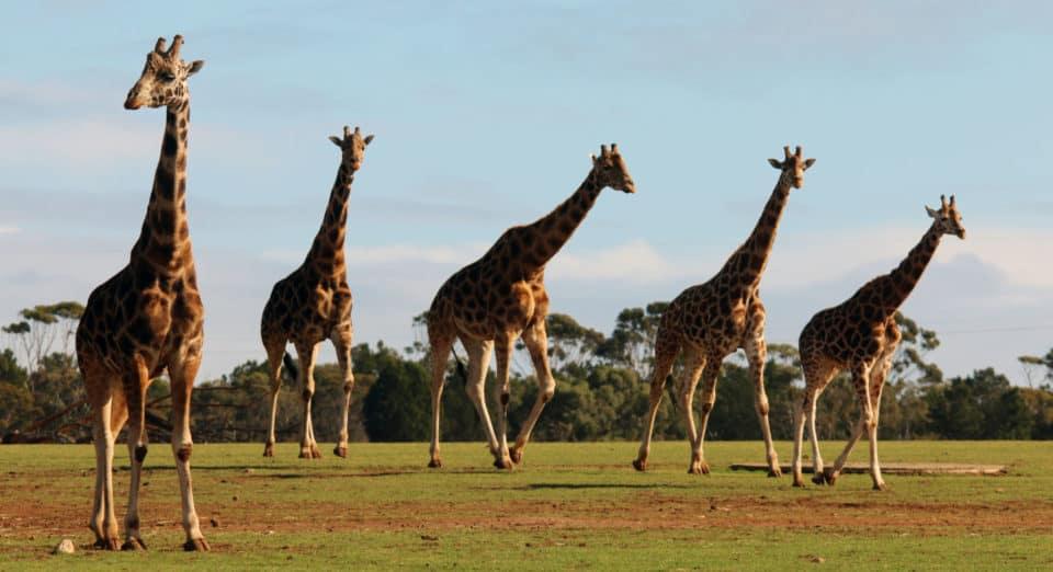 Monarto Safari Park giraffes