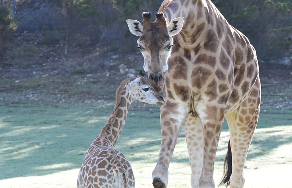 Giraffe calf Kamili at Monarto Safari Park