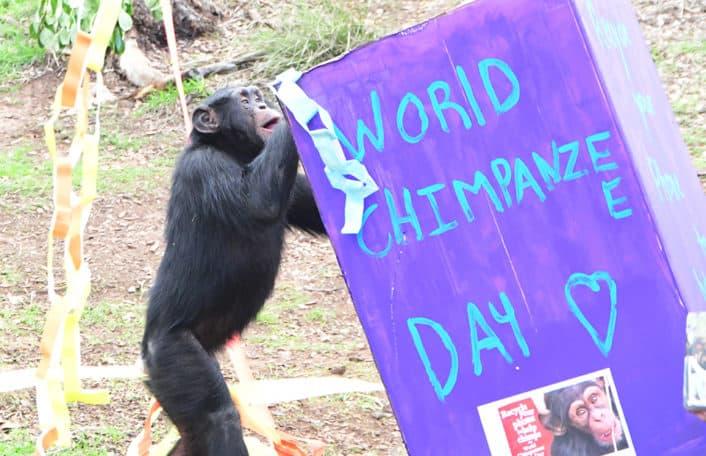 World Chimpanzee Day Monarto Safari Park