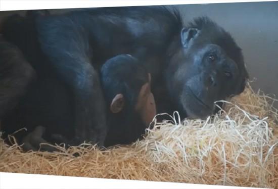Chimpanzee mother and daughter hugging at Monarto Safari Park