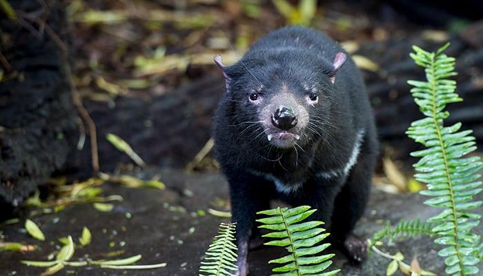 Tasmanian Devil, Monarto Safari Park