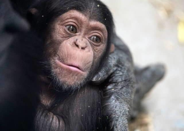 Baby Chimp at Monarto Safari Park, image Amy Atherton