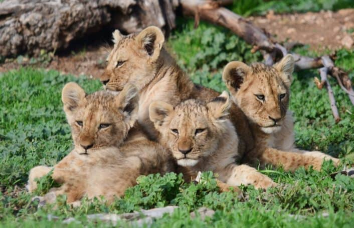 lion cubs, monarto safari park